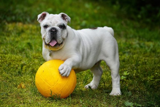 english-bulldog-562723_1920